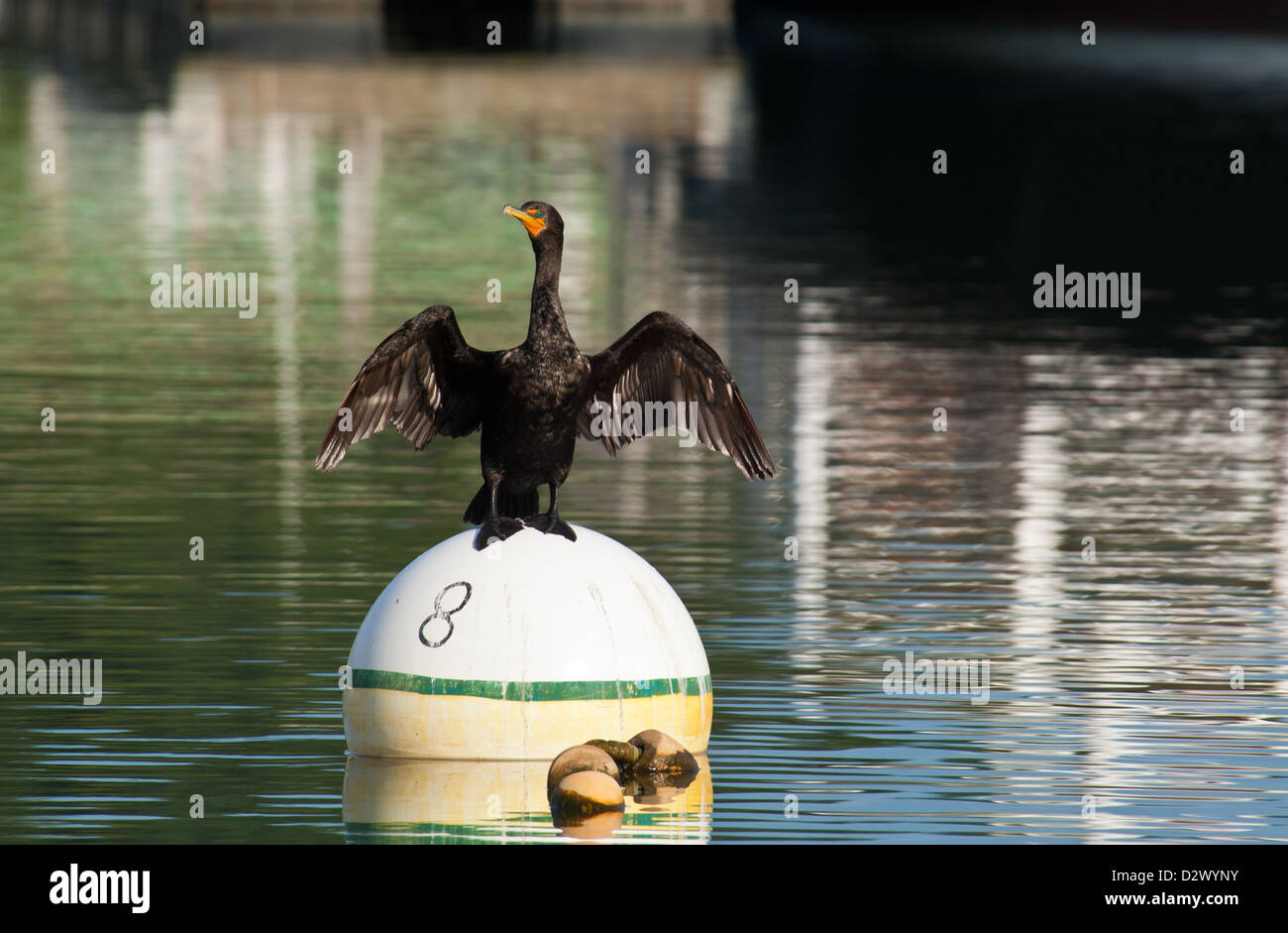 A double crested cormorant (Phalacrocorax auritus) perched on a lobster bouy near Freeport Maine - Stock Image