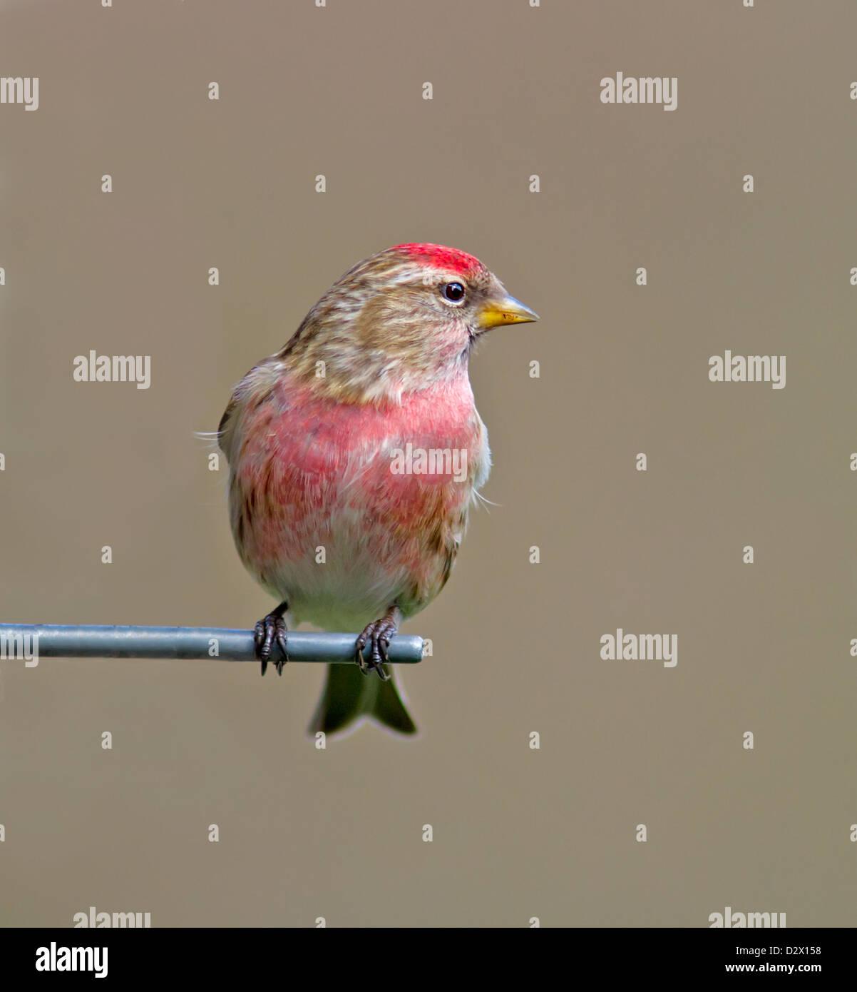 Male Redpoll Stock Photo