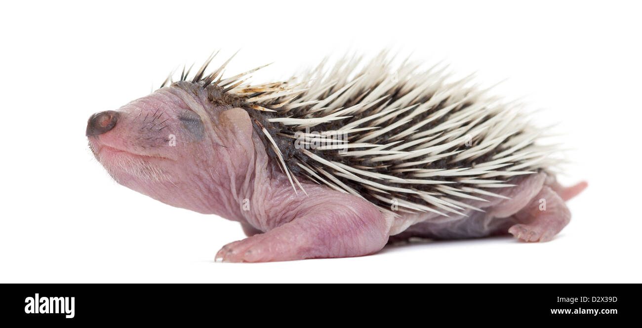 Baby Hedgehog, 4 days old, against white background - Stock Image