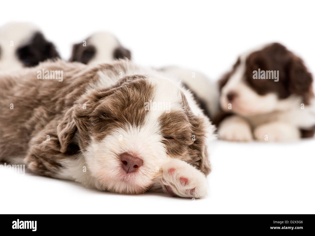 Close-up of a Bearded Collie puppy, 6 weeks old, sleeping in front of others against white background - Stock Image