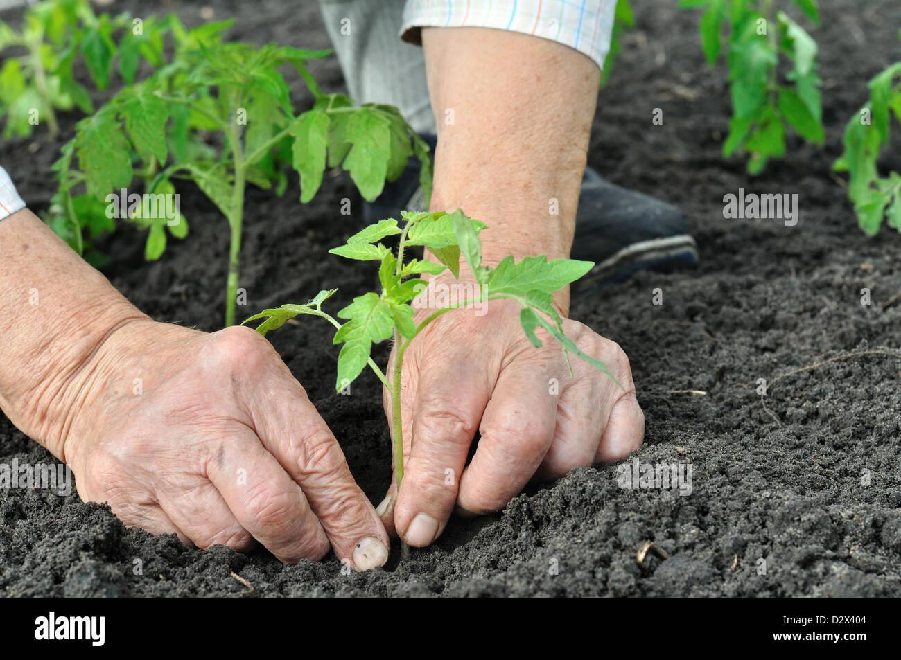 senior woman planting a tomato seedling Stock Photo