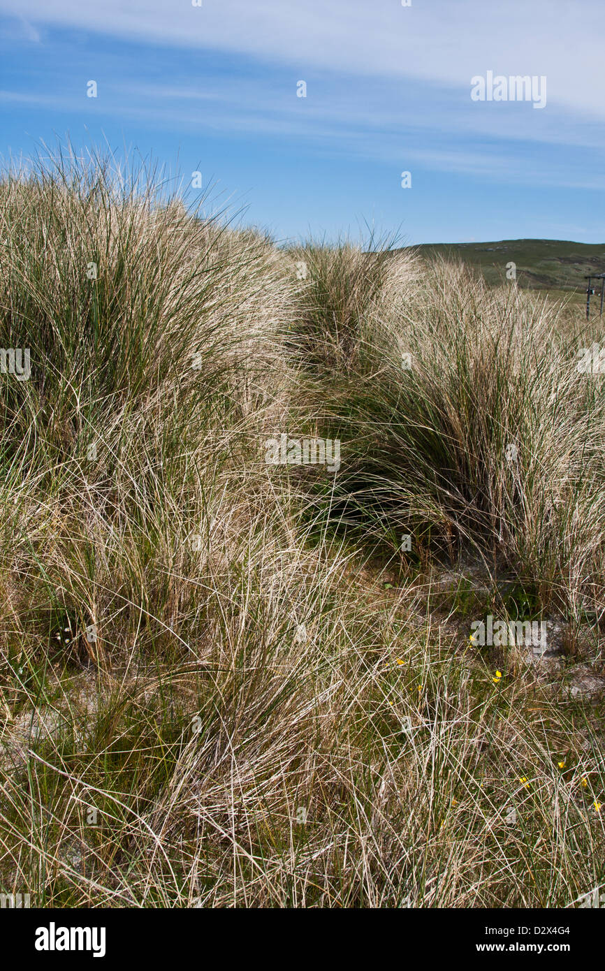 Isle of Barra, Outer Hebrides, Western Isles, Scotland, wild beach grasses along a dune path way - Stock Image