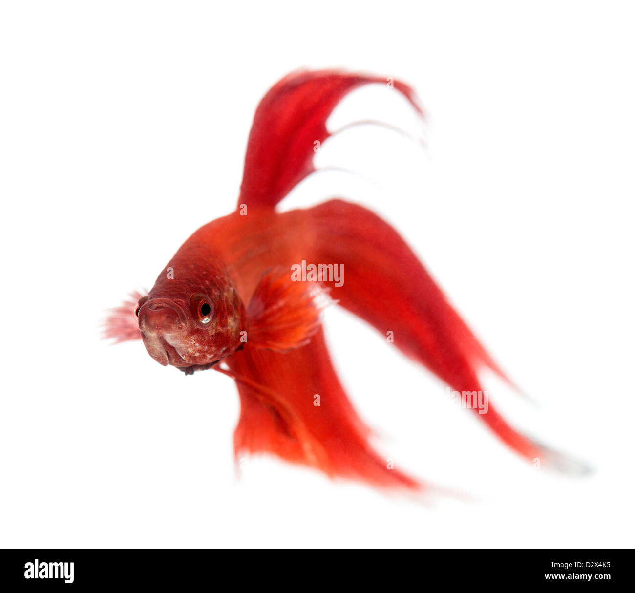 Front view of a Siamese fighting fish, Betta splendens, against white background - Stock Image