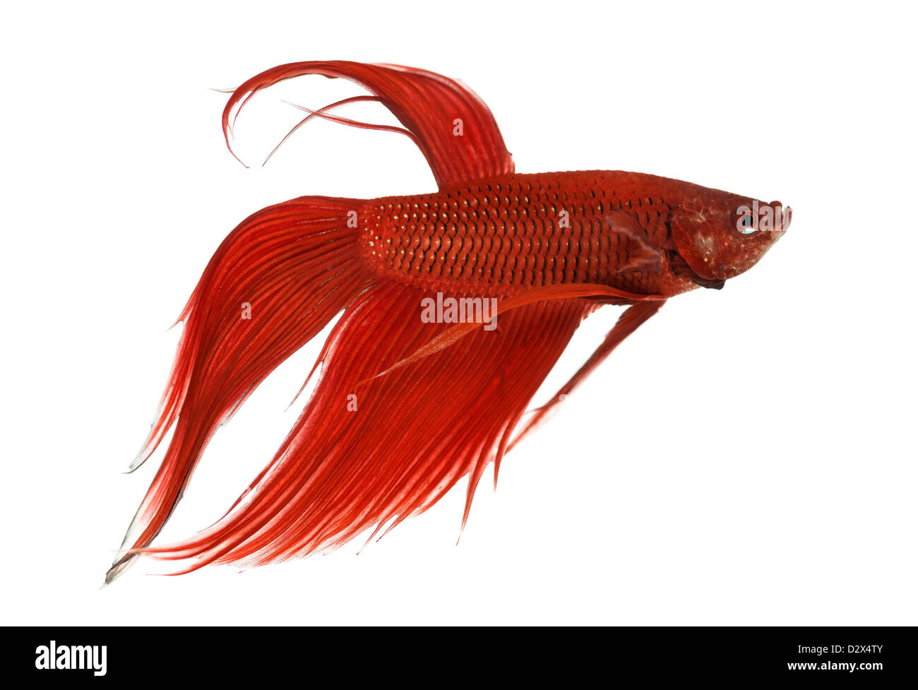 Side view of a Siamese fighting fish, Betta splendens, against white background Stock Photo