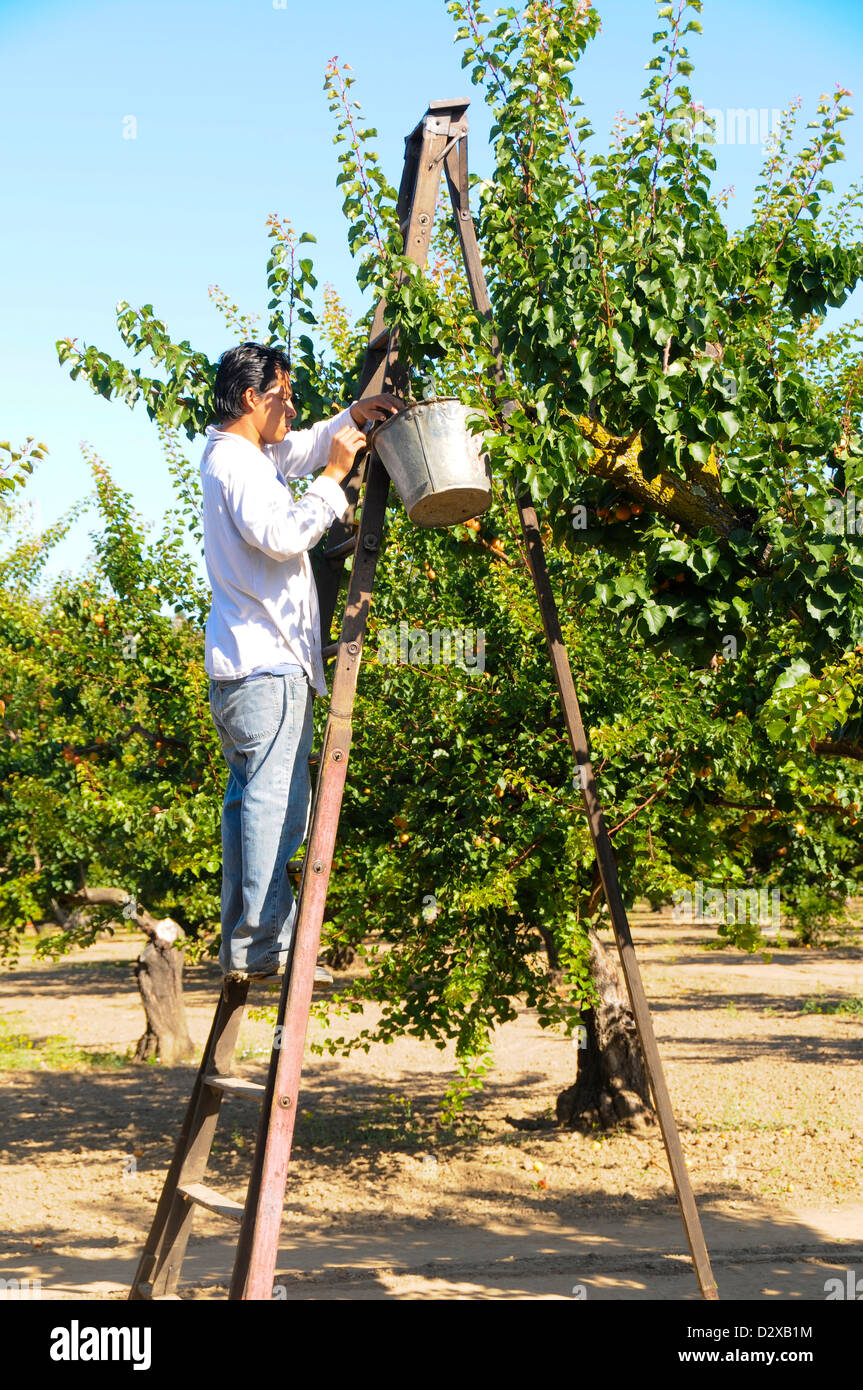 Worker Harvesting Apricots - Stock Image