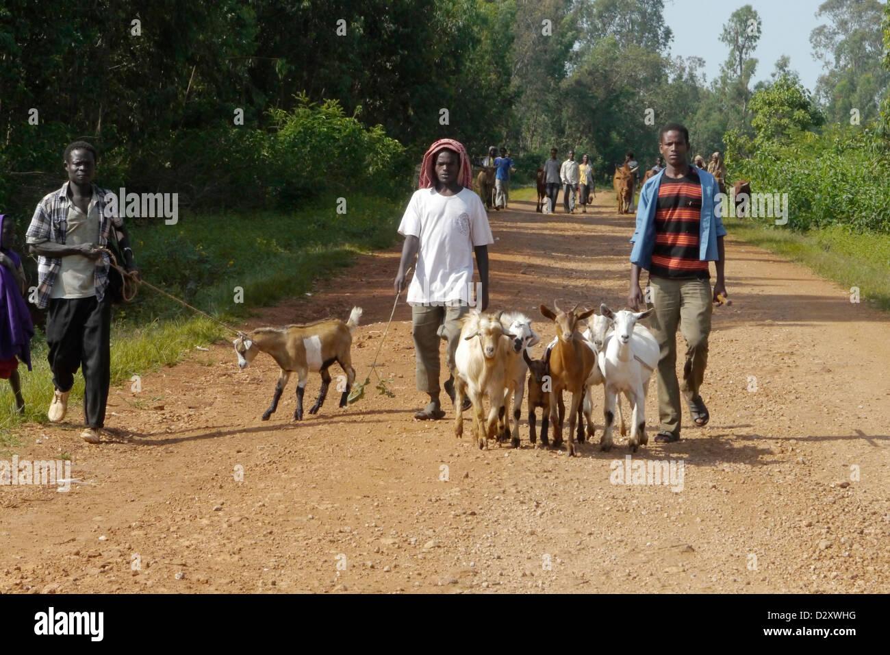 ethiopia road between chagni debate beni shangul gumuz region men males herding goats transport carry load Stock Photo
