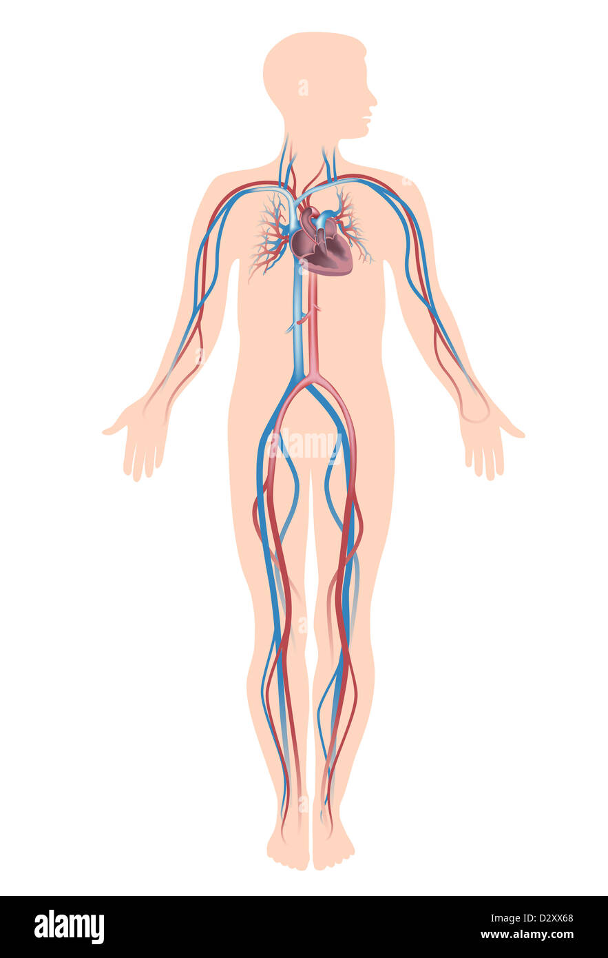 Cardiovascular System Illustration Stock Photos Cardiovascular