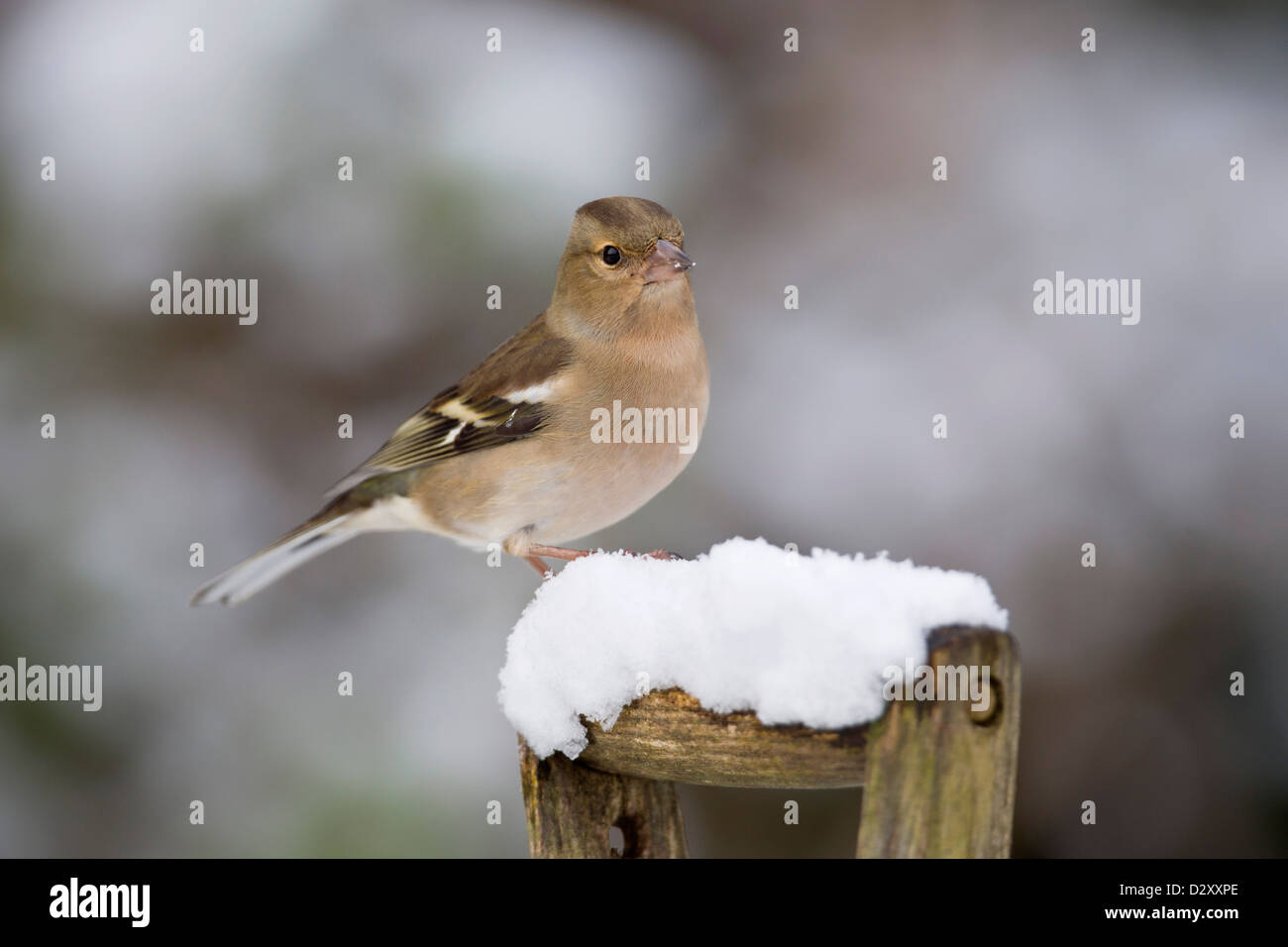 Chaffinch; Fringilla coelebs; Female; Winter; UK - Stock Image