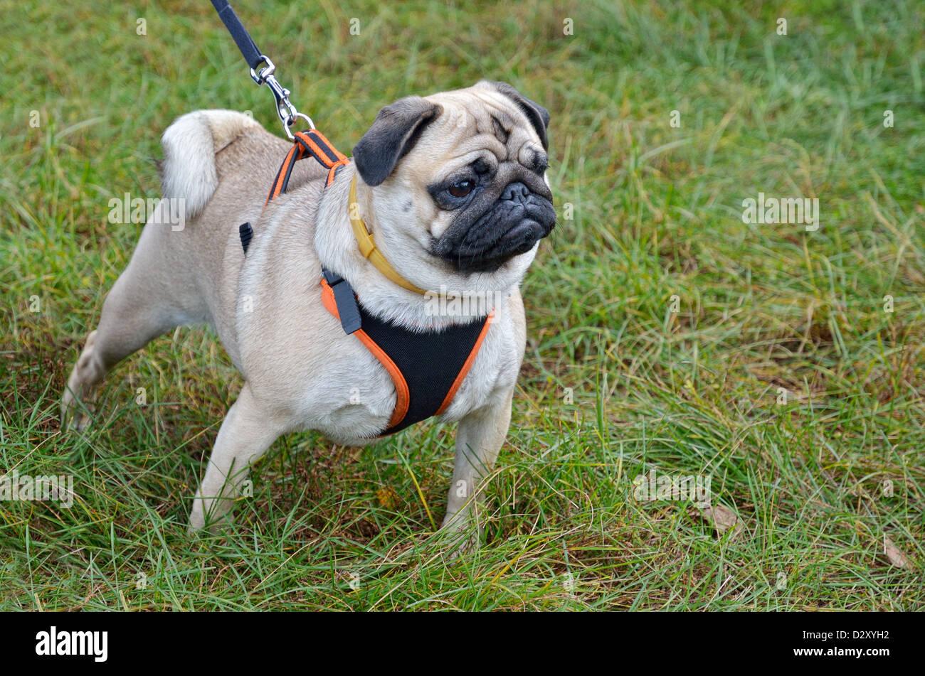 Pug on the leash - Stock Image