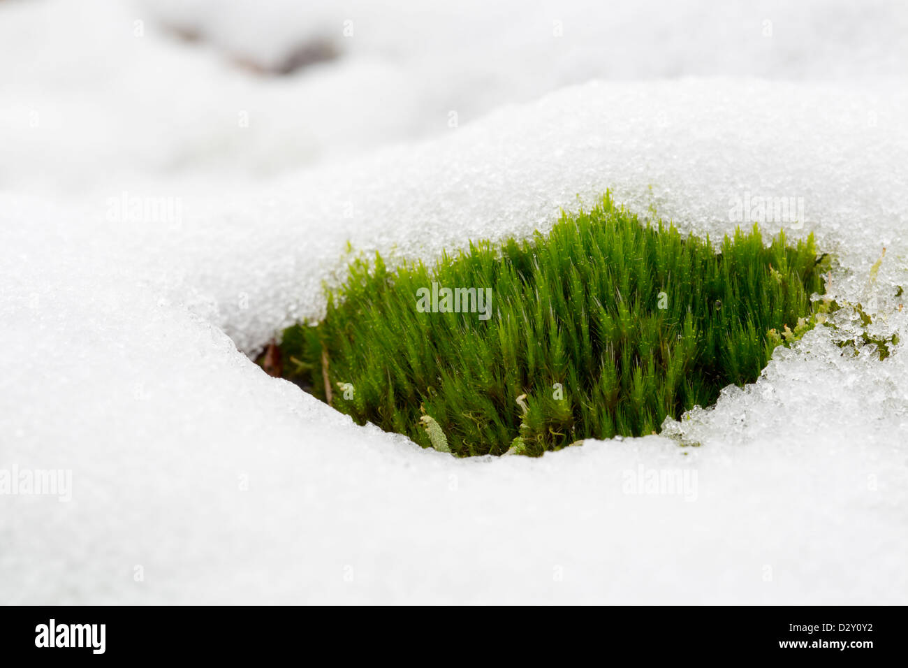 Moss in snow; UK - Stock Image
