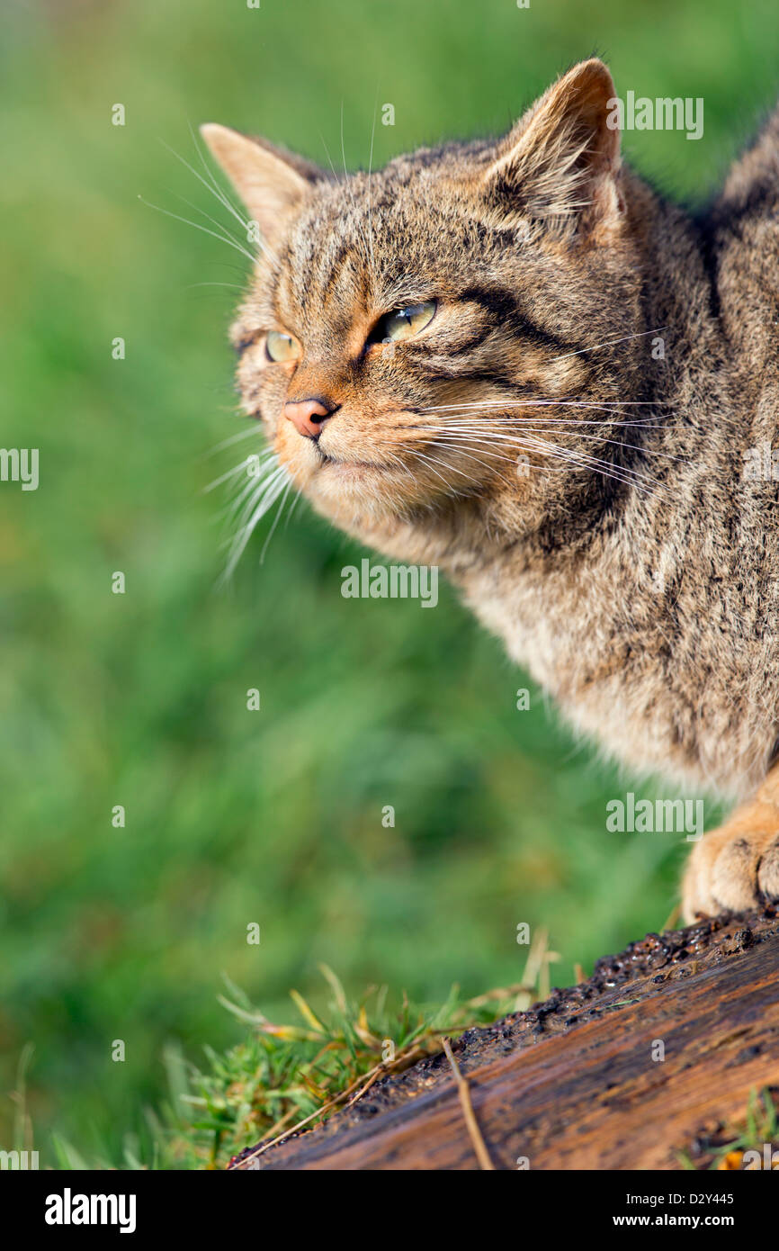 Wild Cat; Felis Silvestris; UK Stock Photo