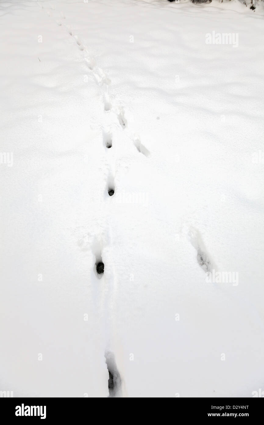 fox animal tracks in fresh snow in garden - Stock Image