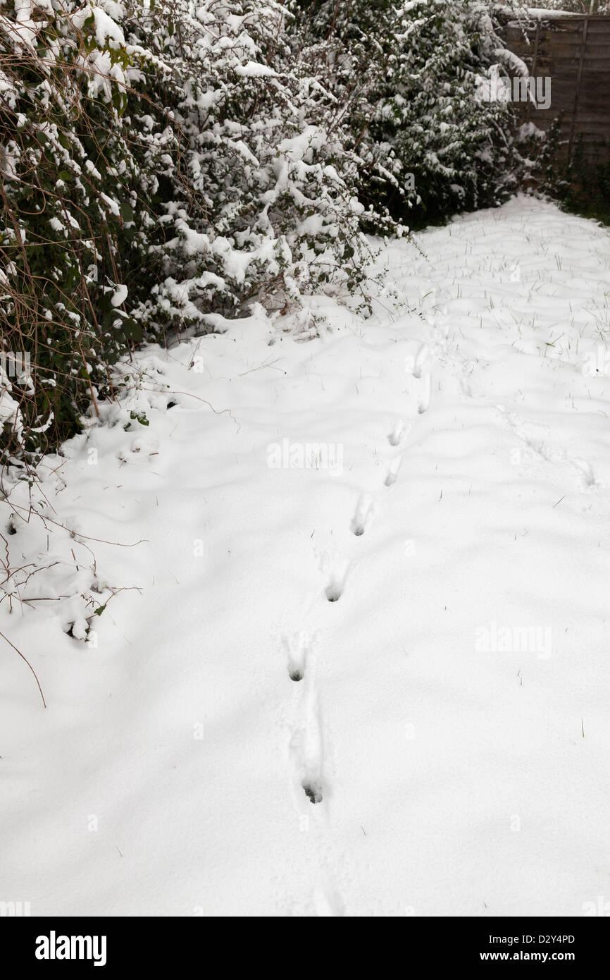 fox animal tracks in fresh snow in garden Stock Photo