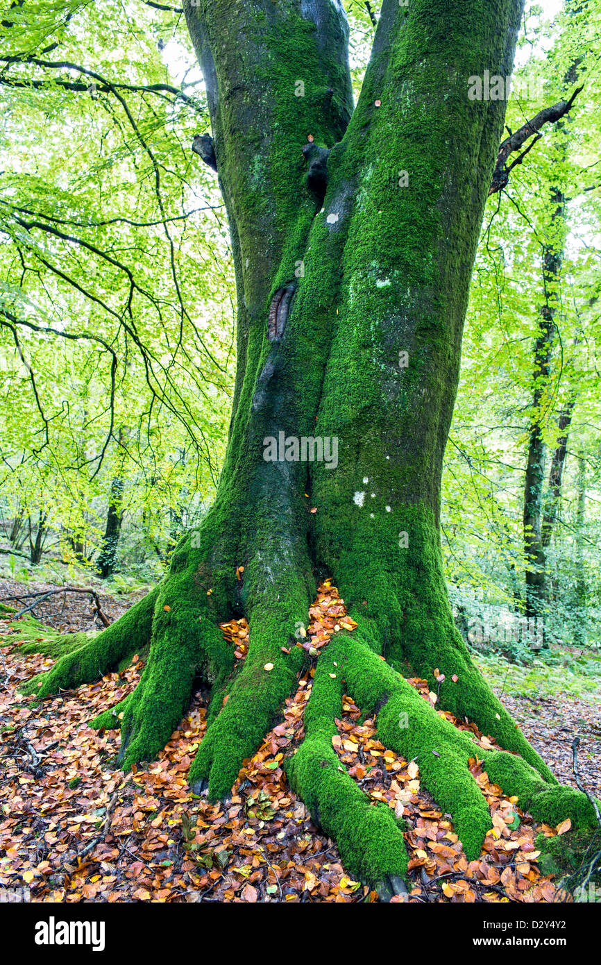 An old moss covered Beech tree with it's roots showing. - Stock Image