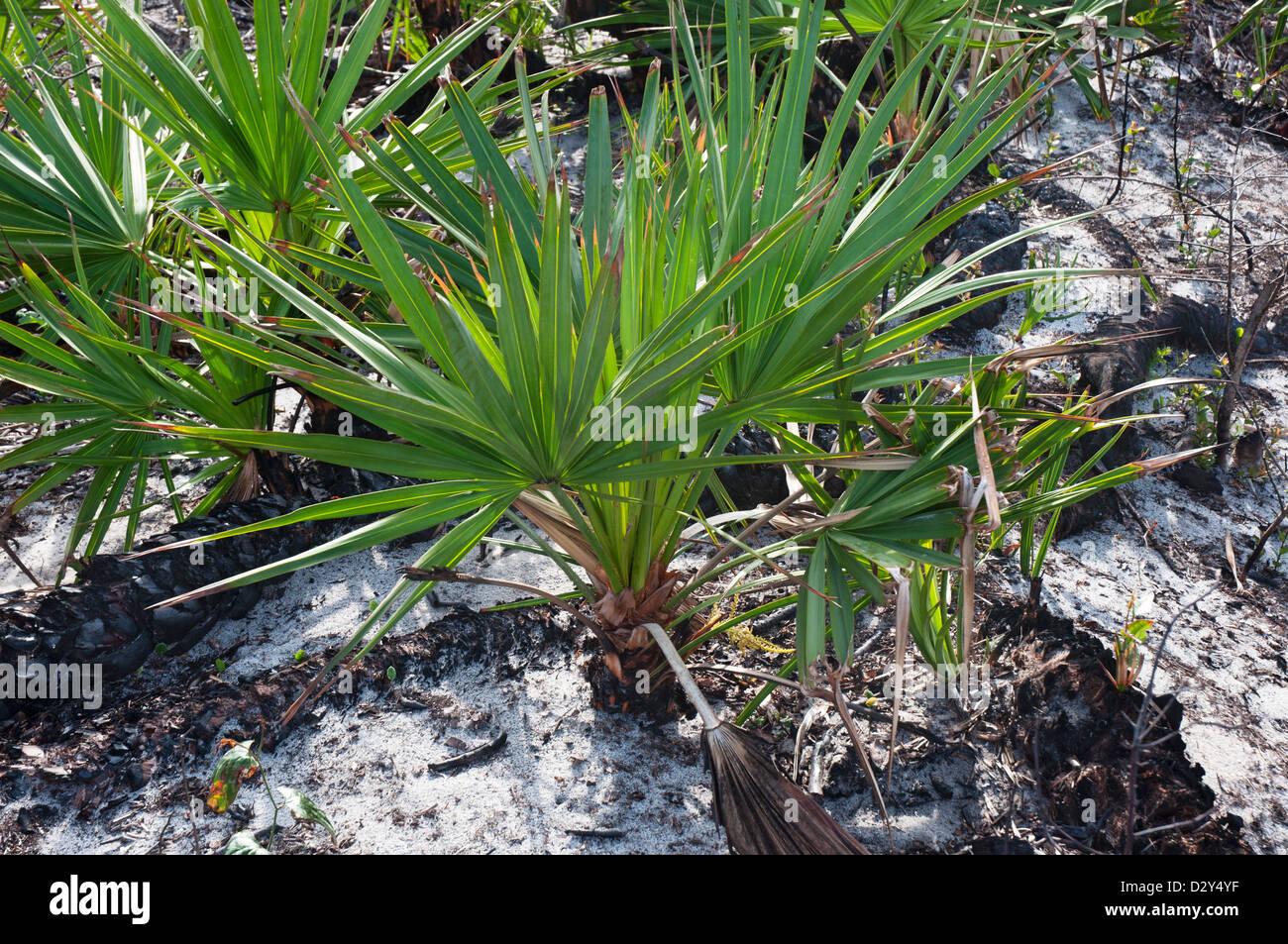 Coastal North Florida. Guana Tolomato Matanzas National Estuarine Research Reserve.  Vegetation regeneration after - Stock Image