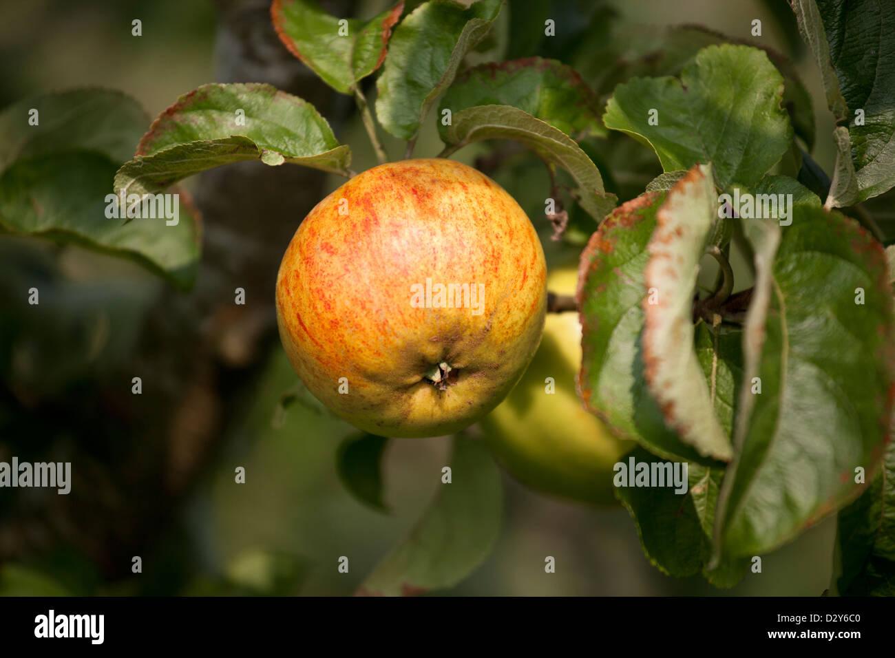 Malus domestica- Apple 'Nelson's Favourite'. - Stock Image