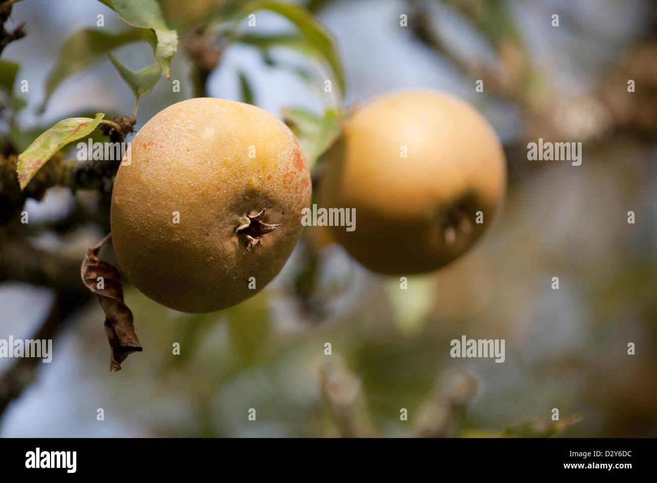 Malus domestica - Apple Egremont Russet - Stock Image
