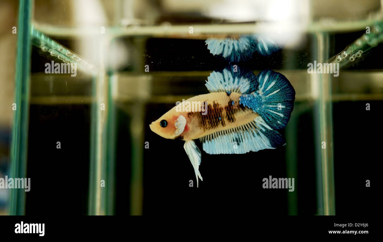 Male Siamese Fighting Fish in the Bottle. - Stock Image