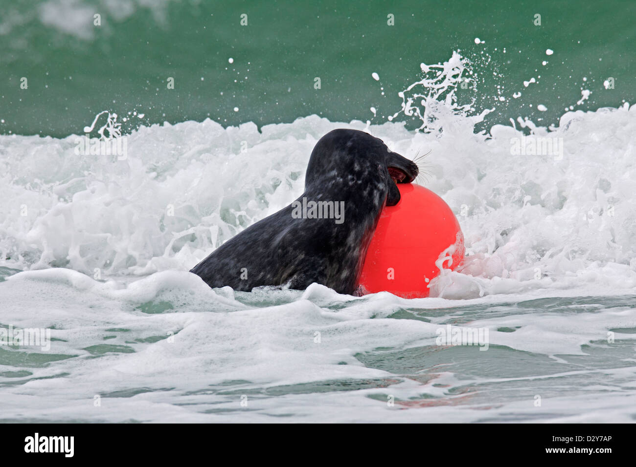 Grey seal / gray seal (Halichoerus grypus) playing and biting in buoy in surf waves along the North Sea coast - Stock Image