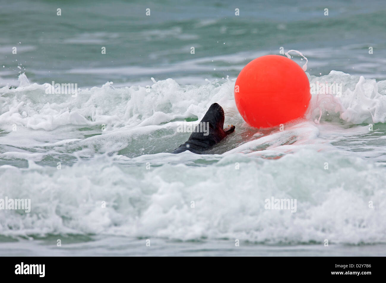 Grey seal / gray seal (Halichoerus grypus) playing with buoy in surf waves along the North Sea coast - Stock Image