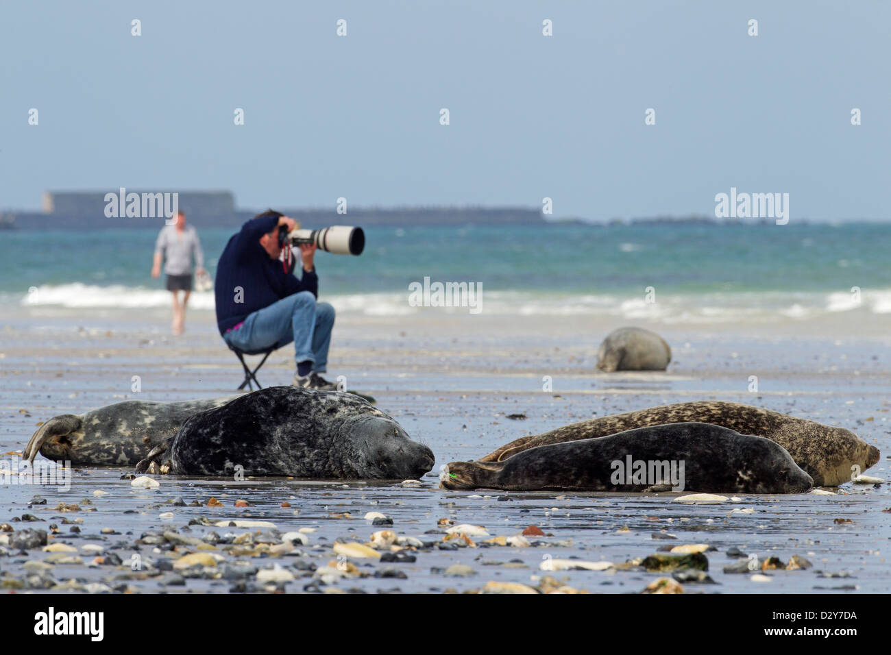 Disturbance by nature photographer with telephoto lens photographing Grey seals / gray seal (Halichoerus grypus) Stock Photo