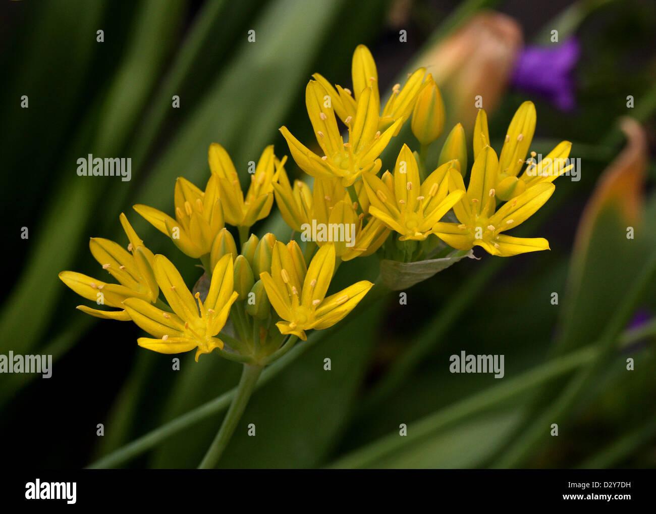 Allium Moly Yellow Stock Photos Allium Moly Yellow Stock Images