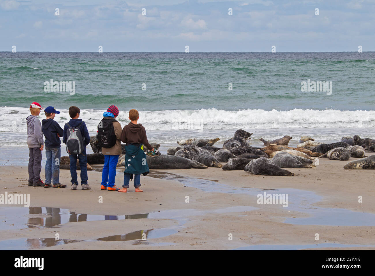 Curious school children visiting Grey seals / gray seal (Halichoerus grypus) colony resting on beach at the Wadden - Stock Image