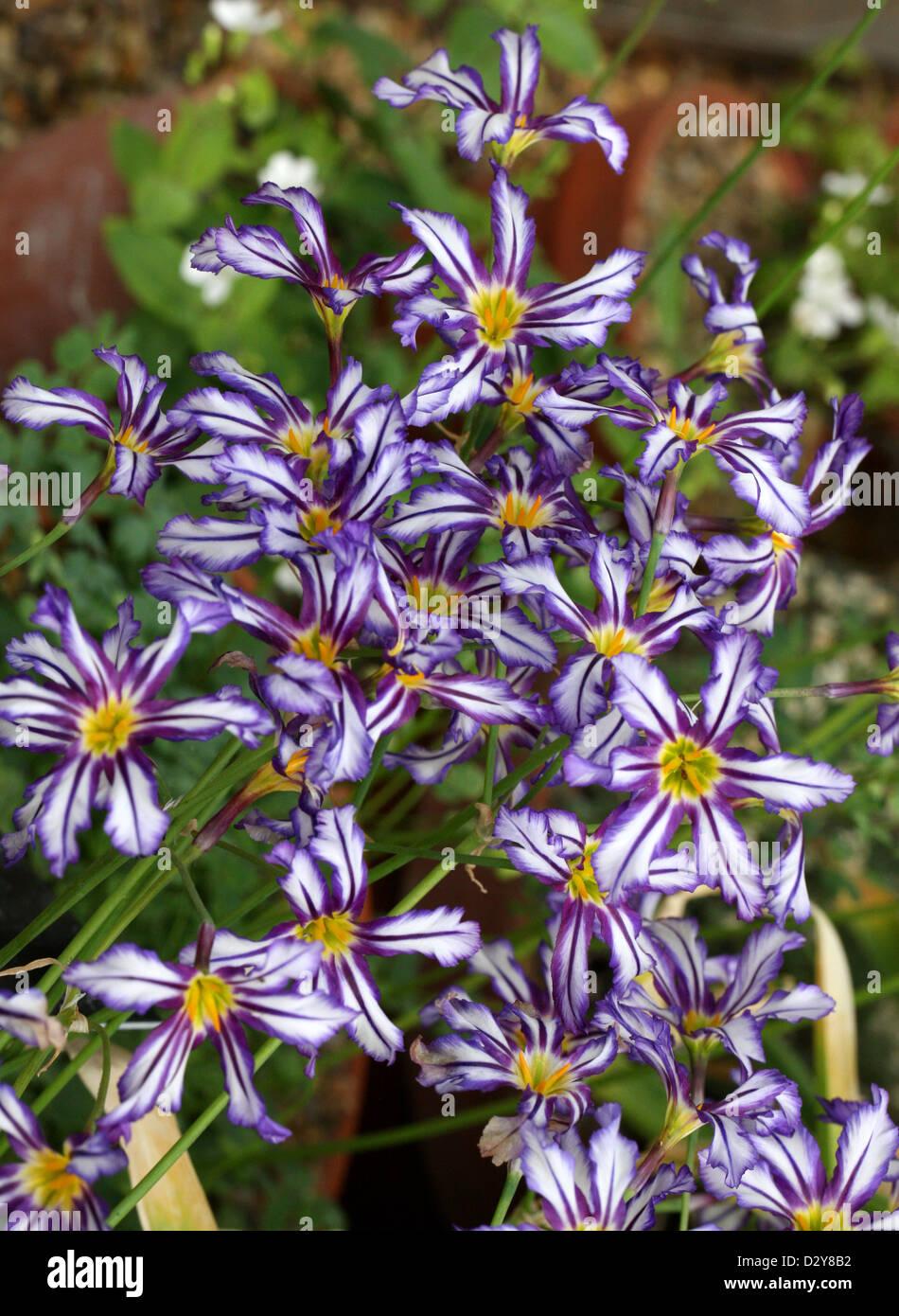 Glory of the Sun, Leucocoryne pauciflora, Alliaceae. Chile, South America. - Stock Image