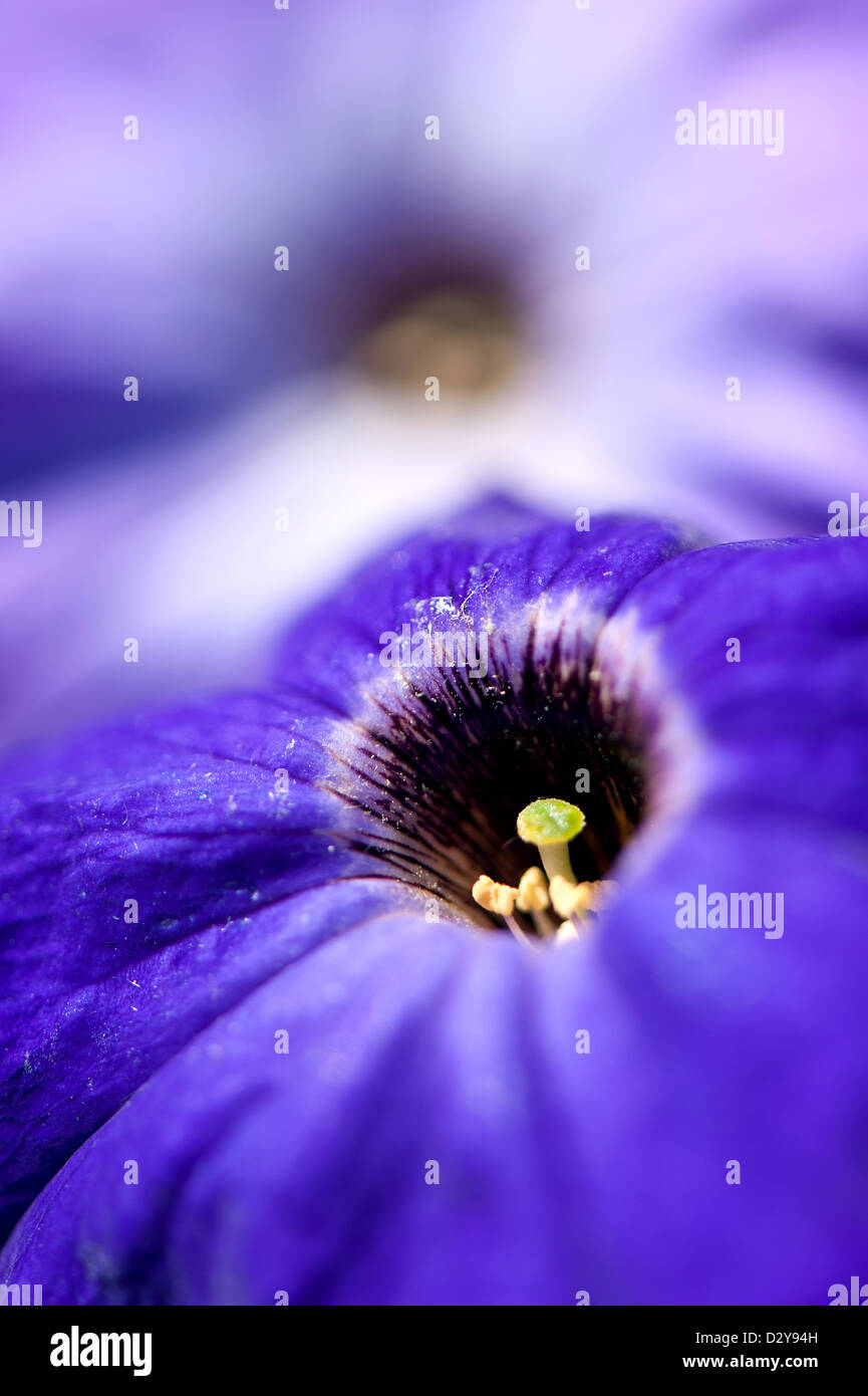 Petunia flowers close up in summer day in the garden - Stock Image