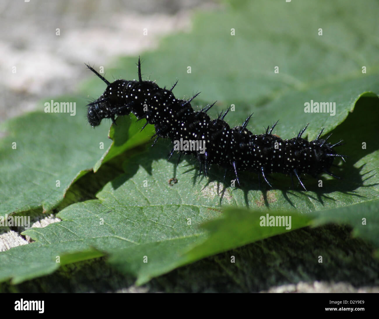 black spiky caterpillar common peacock stock photos black spiky