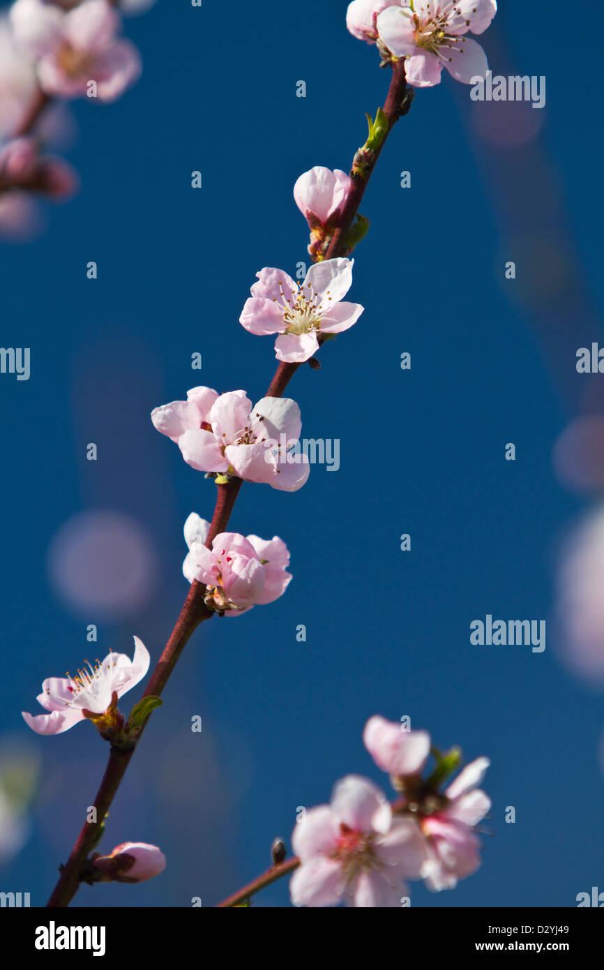 Cherry flowers (Prunus) on branch Stock Photo