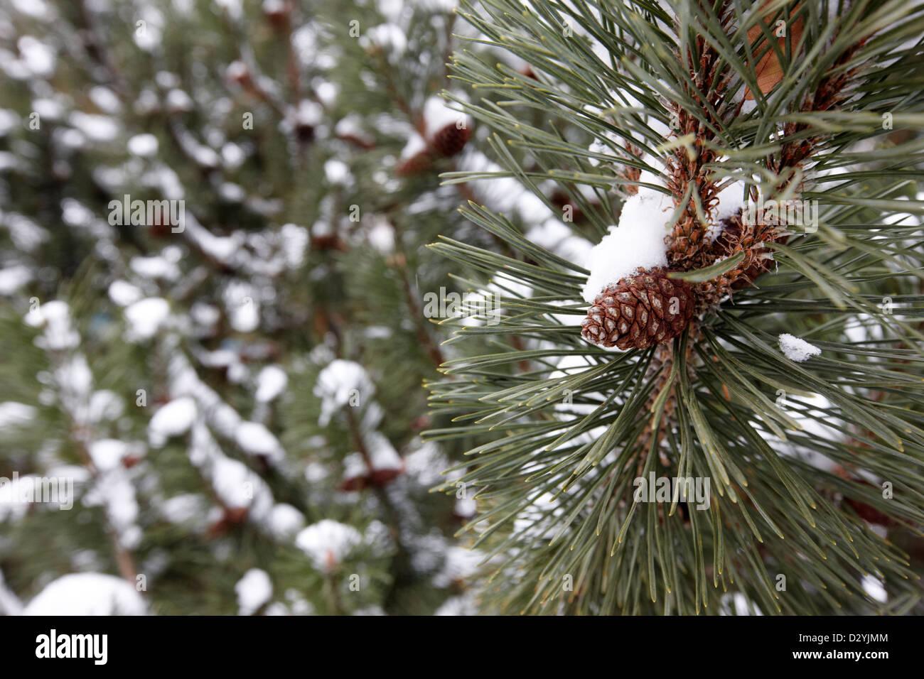 pine cones growing on fir trees in the snow Saskatoon Saskatchewan Canada - Stock Image