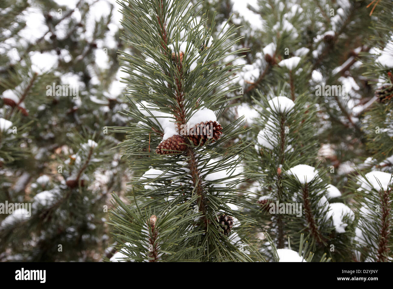 pine cones growing on fir trees in the snow Saskatoon Saskatchewan Canada Stock Photo