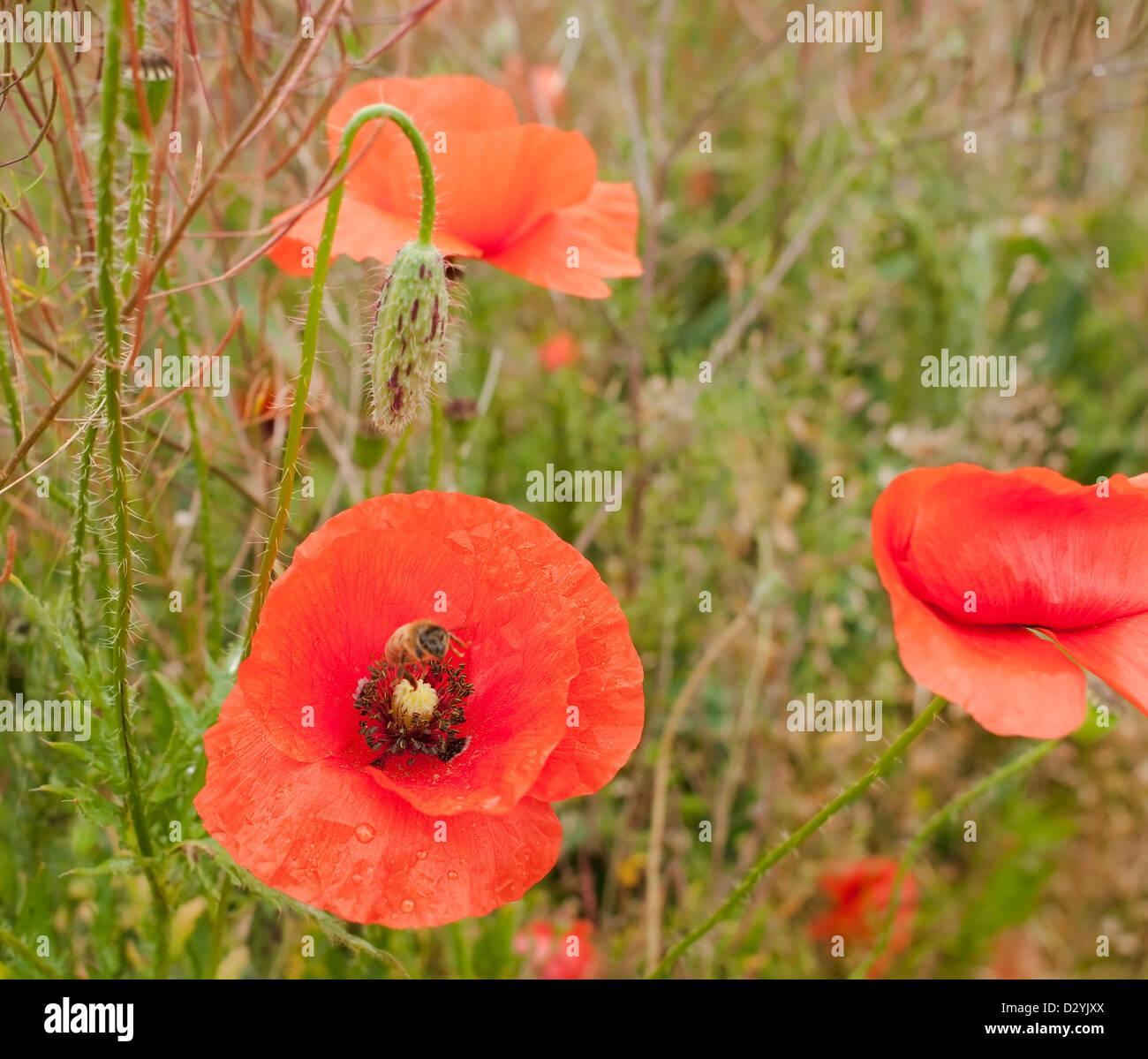 Red Poppy Flower In Fog Stock Photos Red Poppy Flower In Fog Stock