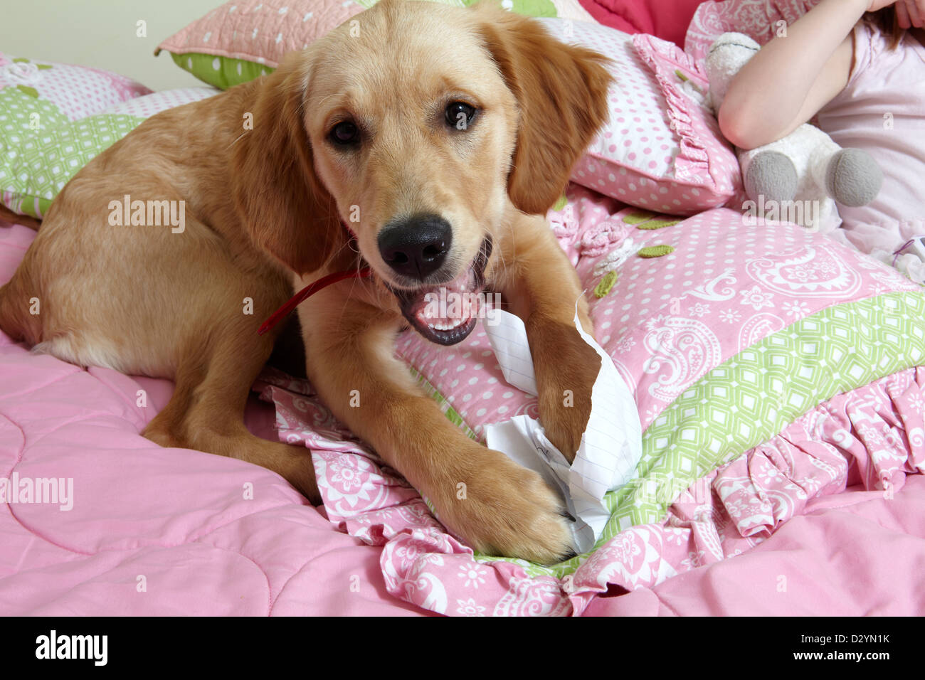 Golden Retriever puppy destroying paper, home work on kids bed - Stock Image