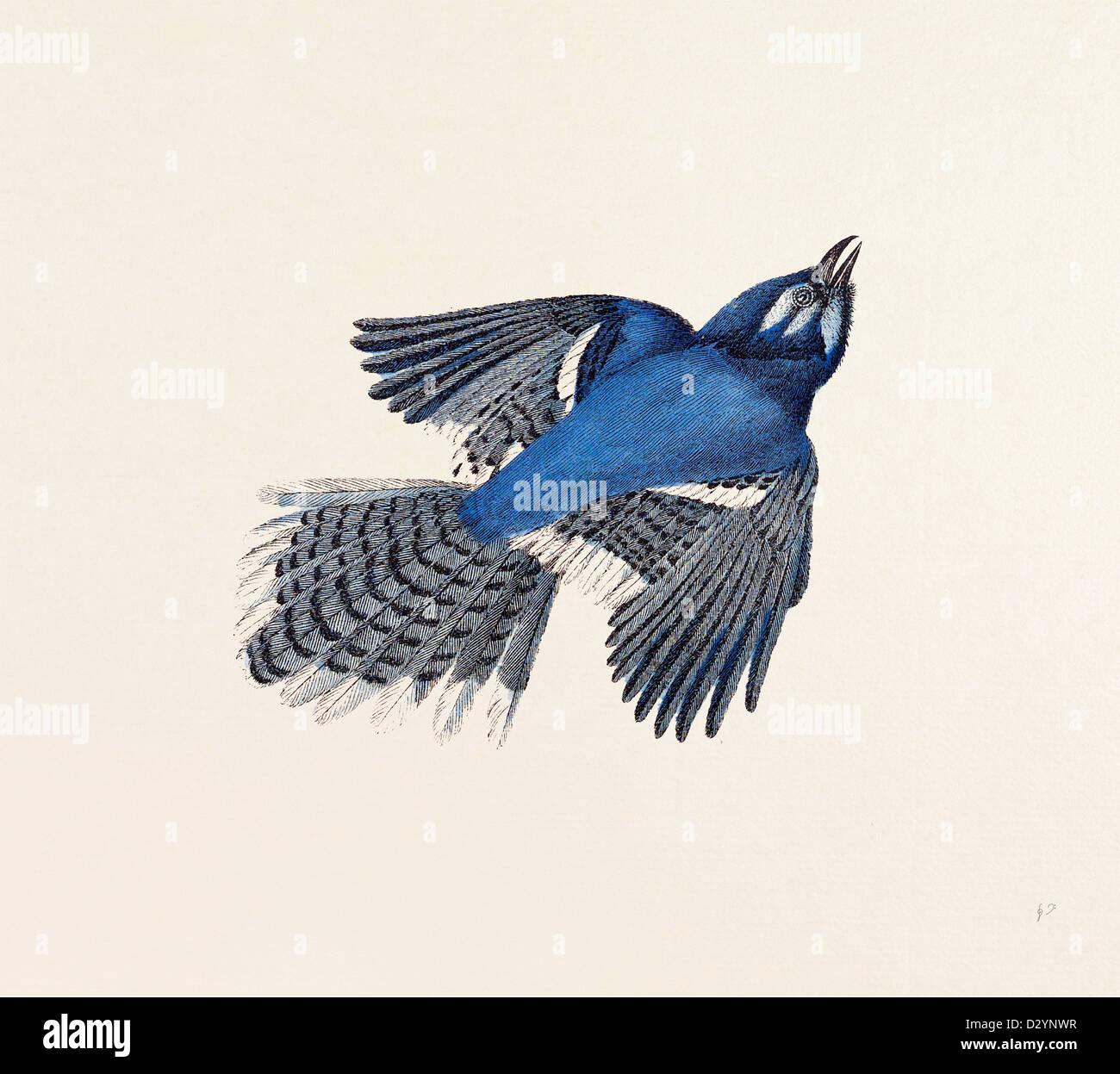 Blue Jay nineteenth century engraving - Stock Image