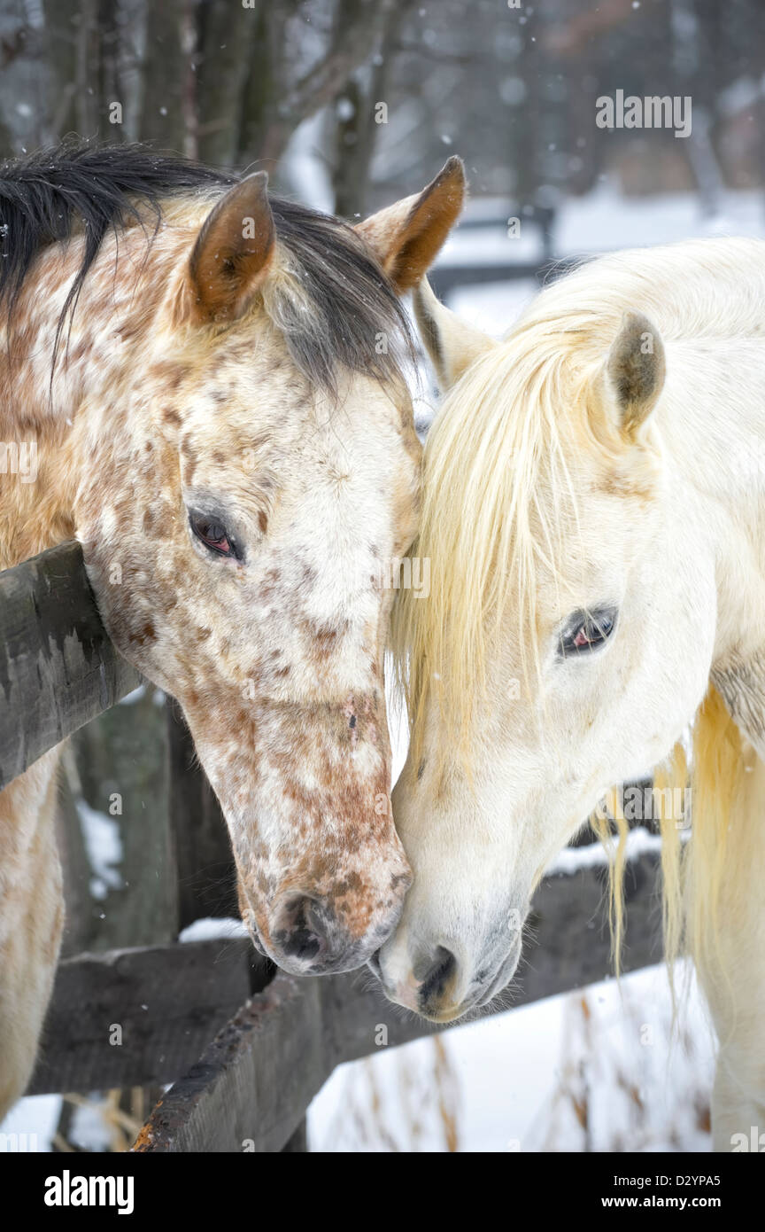 Two horses showing affection and closeness while touching, a white Arabian stallion and a spotted Appaloosa mare - Stock Image