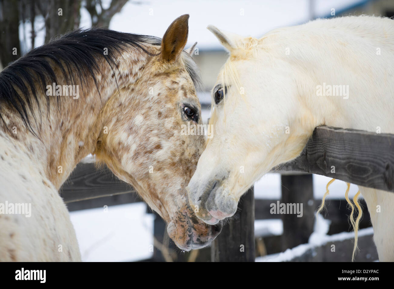Two horses showing affection and closeness while touching, a white Arabian stallion and a spotted Appaloosa mare. - Stock Image