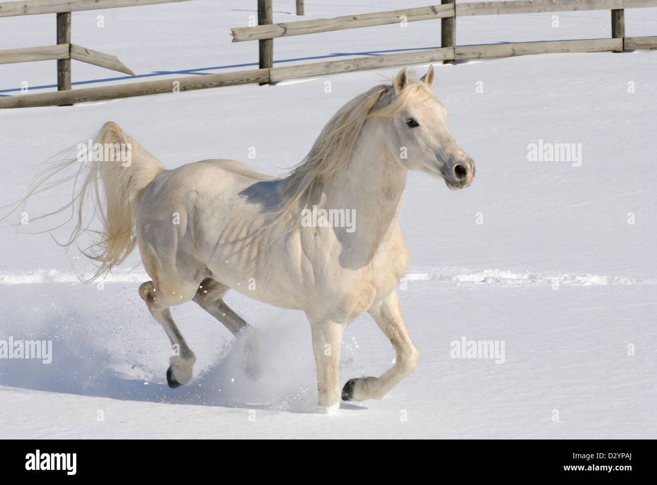 A pure bred Arabian Stallion running freely with mane and tail flying in new fallen snow - Stock Image