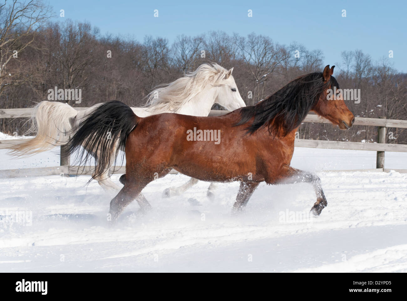 Two purebred Arabian horses, white stallion, brown mare running side by side in newly fallen snow. - Stock Image
