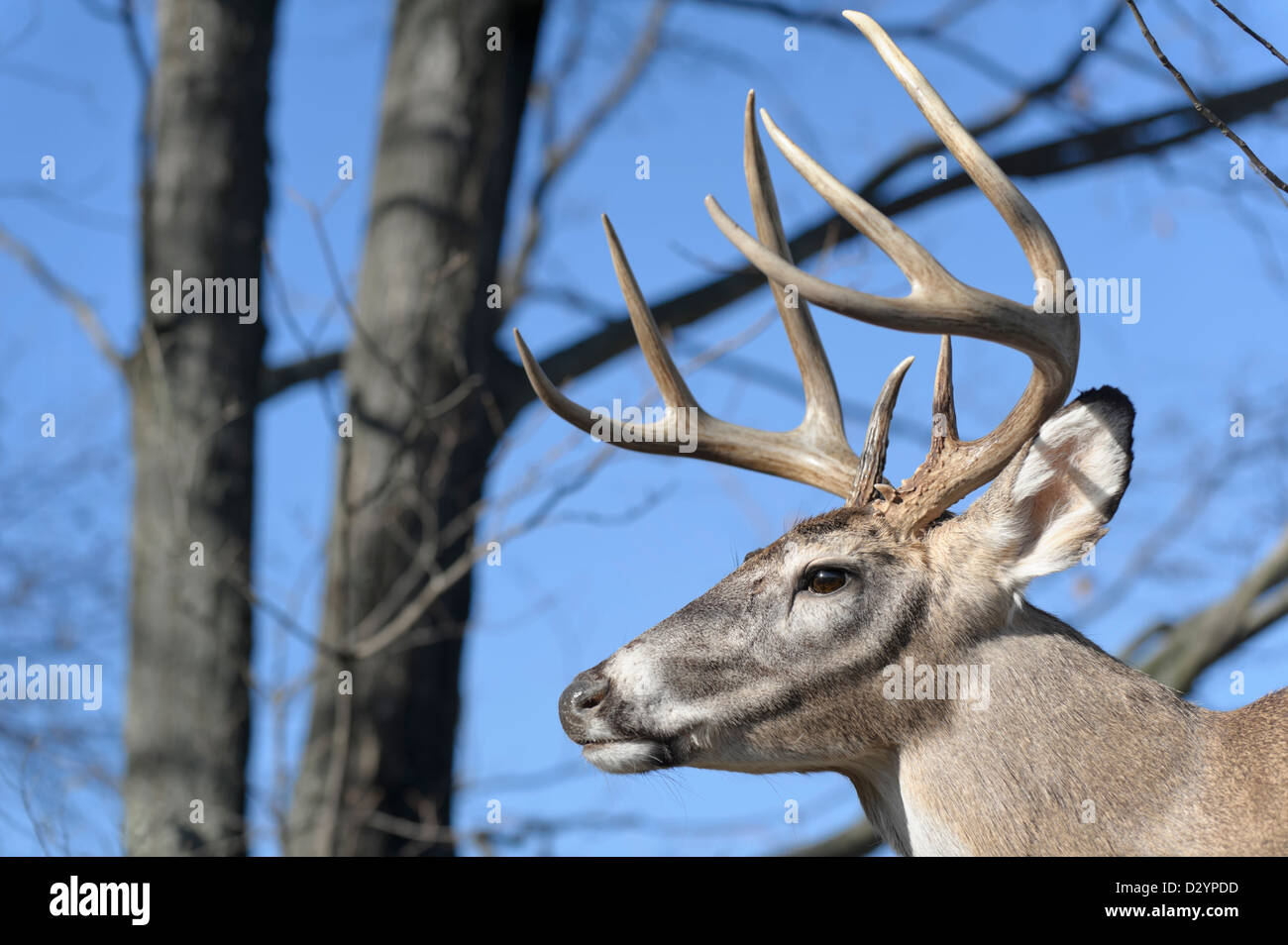 Deer with full antlers in the woods, head shot of an eight point buck with a classic symmetrical rack - Stock Image