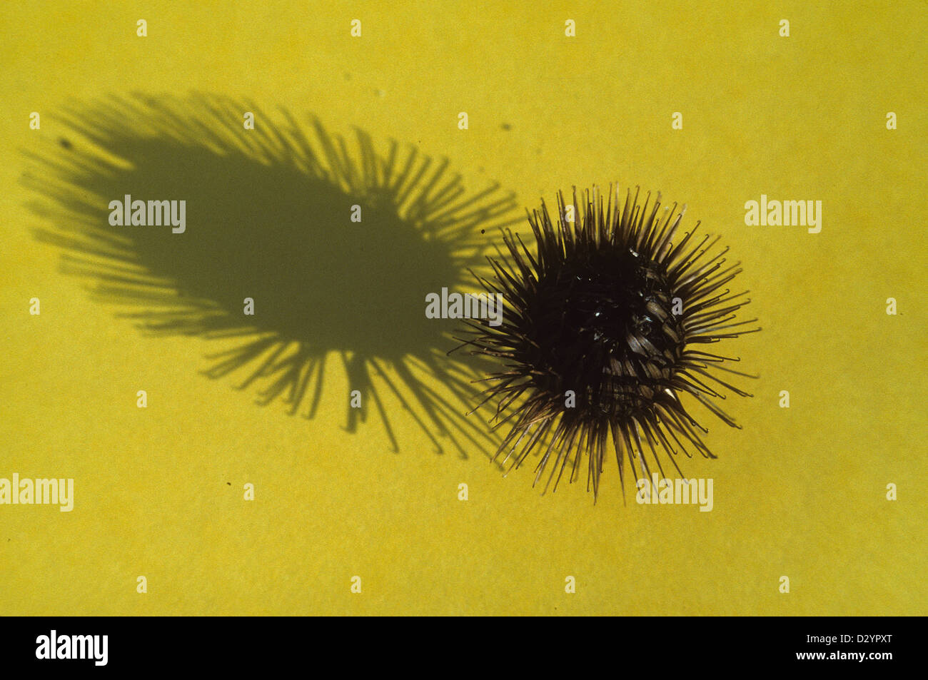 Burdock burr and shadow (inspiration for invention of Velcro) - Stock Image
