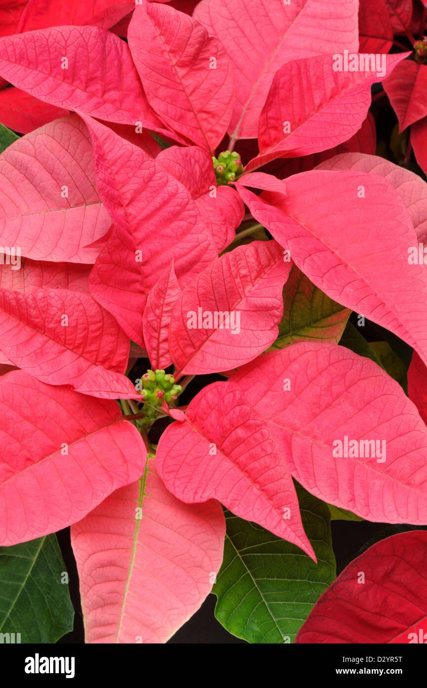 Poinsettia Leaves Stock Photos & Poinsettia Leaves Stock Images - Alamy
