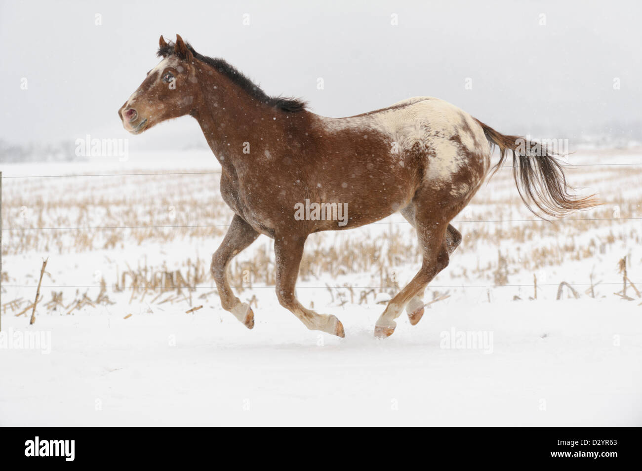 Appaloosa Horse Running Free In Canter In White Winter Pasture And Stock Photo Alamy