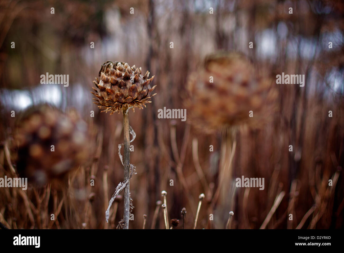 Part of a series of shots depicting winter flora at Ness Gardens, Wirral, Merseyside, England, UK - Stock Image