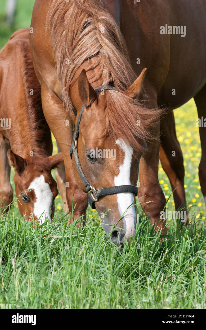 Purebred Quarter Horses, a mare and her foal, grazing in a field of buttercups. - Stock Image
