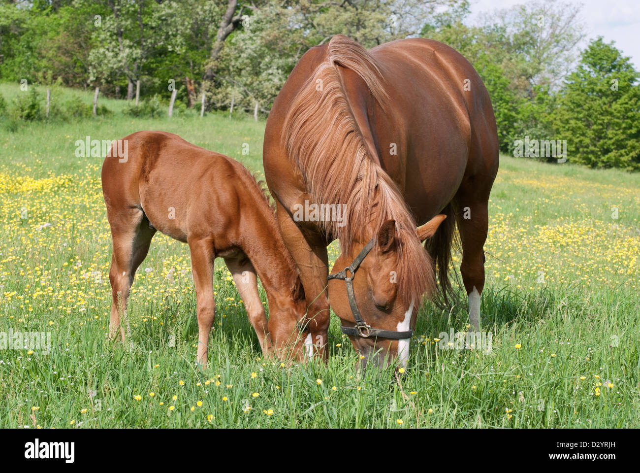 Horses grazing in spring buttercup field, a mare and her young foal baby, purebred quarter horses. - Stock Image