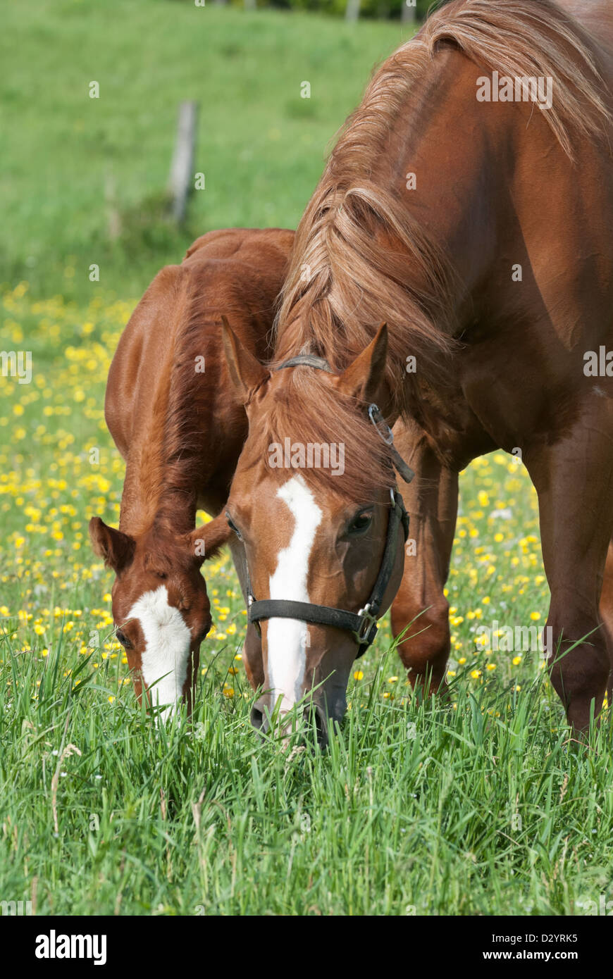Horses grazing in spring buttercup field, a mare and her young foal, purebred Quarter horses. - Stock Image