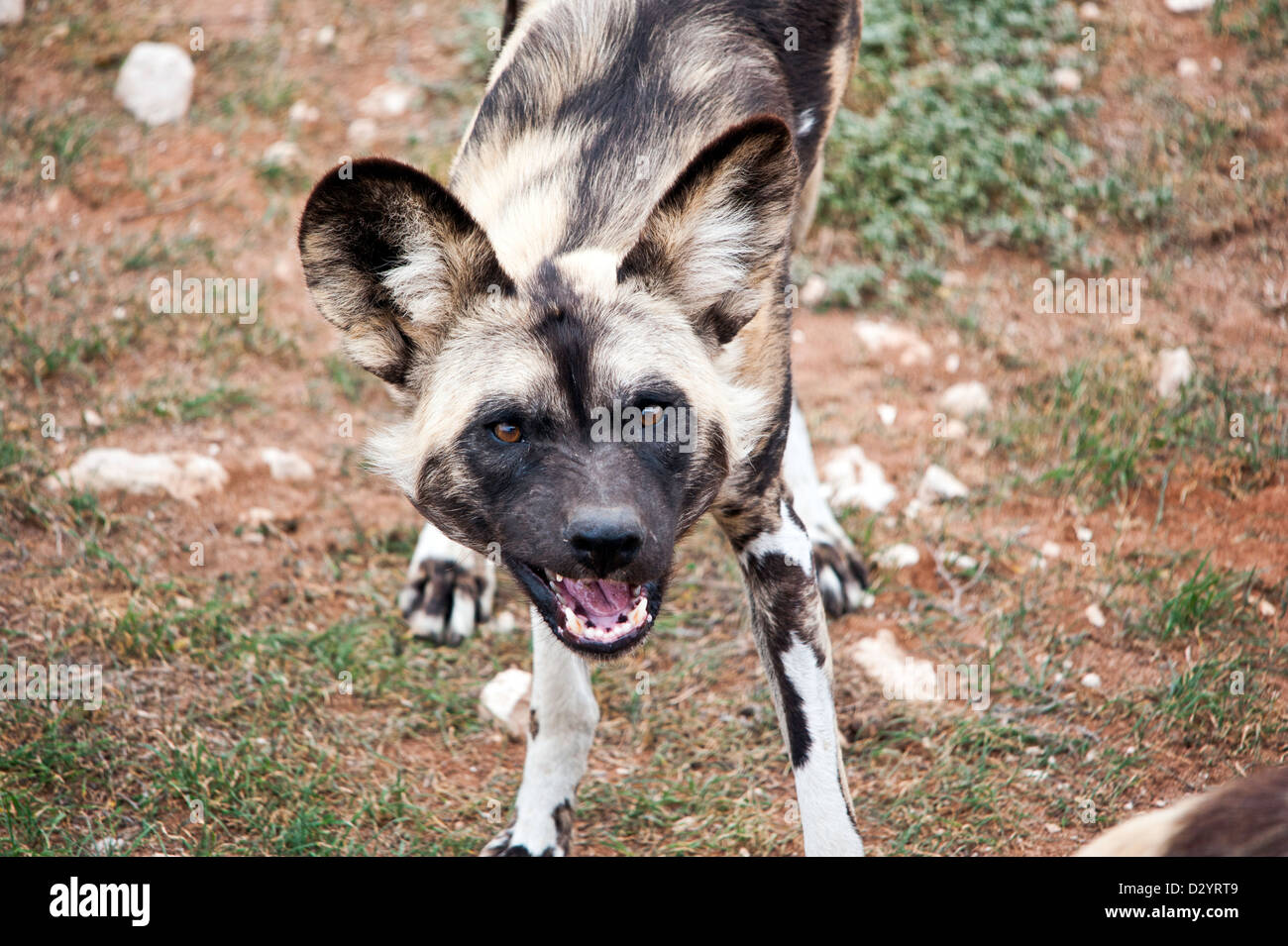 A wild African dog snarls towards the camera. - Stock Image