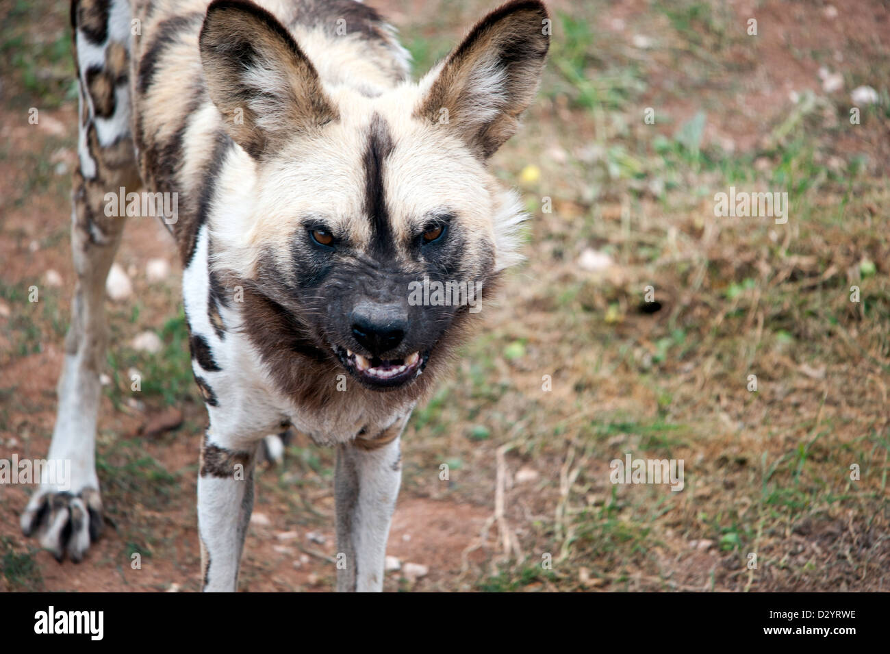 A wild African dog bares its teeth as it snarls. - Stock Image